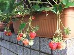 真っ赤に熟れたイチゴ