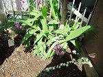 紫蘭の横に植えた可愛い枝ぶりの小手毬