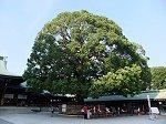 幾年ぶりかの剪定で新芽が美しい拝殿前の楠