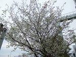 鎌倉の白桜