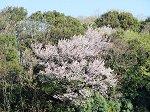 自宅のバルコニーから見た桜