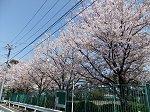 ブリジストンの敷地の中の桜