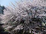 近所の舞岡川沿いに咲く桜