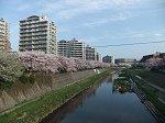 旧東海道からみた柏尾川の桜
