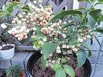 白い果実が弾けて赤い種子が顔を出した白まゆみ