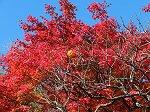青空とのコントラストが美しい本堂の紅葉