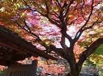 逆光に映える本堂の紅葉
