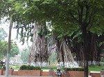 博物館前の公園のバニアンツリー