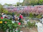 わが家の庭で八重桜のお花見