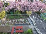 2015八重桜1.jpg