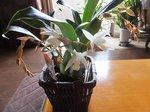2015蘭の開花1.jpg