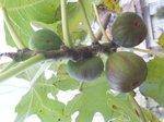 2015裏庭の果物1.jpg