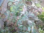 2015裏庭の果物2.jpg