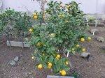 2015裏庭の果物5.jpg