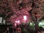 2016柏尾川桜15.jpg