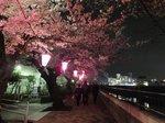 2016柏尾川桜16.jpg