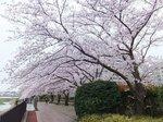 2016柏尾川桜21.jpg