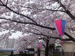 2016柏尾川桜4.jpg