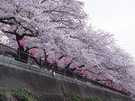2016柏尾川桜7.jpg