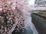 2016目黒川夜桜4.jpg