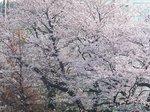 2017満開の桜.jpg