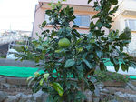 2017裏庭柑橘類1.jpg