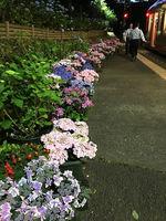 2019箱根あじさい電車2.jpg