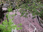 八重桜のピンクの絨毯