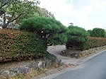 青々とした背の低い松の樹