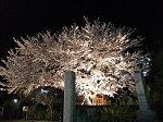 ライトアップされたお寺さんの桜