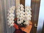 玄関の胡蝶蘭