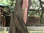 円覚寺境内の老木