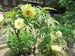 円覚寺境内に咲く黄色の牡丹