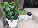 3色植えのハイビスカス from 陽海さん。盗まれないように今度は門扉の中に