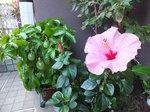 2013.10.13に咲いた桃色のハイビスカス
