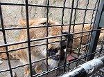 ライオンの餌やり。距離は約20cm、息遣いまで伝わる迫力です。