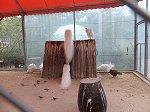 サファリ鳥類園の白クジャク