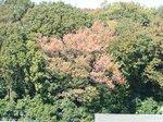 わが家の向かいの山の紅葉