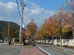 信玄館前の「信玄の道」街路樹の紅葉