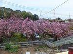 2014八重桜花見1.jpg