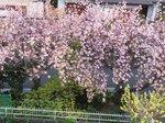 2015八重桜2.jpg