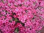 2015春の花6.jpg