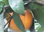 2015裏庭の果物3.jpg