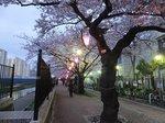 2016柏尾川桜10.jpg