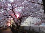 2016柏尾川桜11.jpg