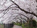 2016柏尾川桜19.jpg
