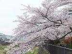 2016柏尾川桜20.jpg