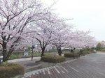 2016柏尾川桜22.jpg
