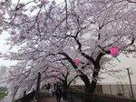 2016柏尾川桜3.jpg