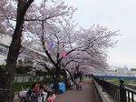 2016柏尾川桜6.jpg